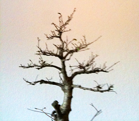 Zelkova serata Baumspitze #2