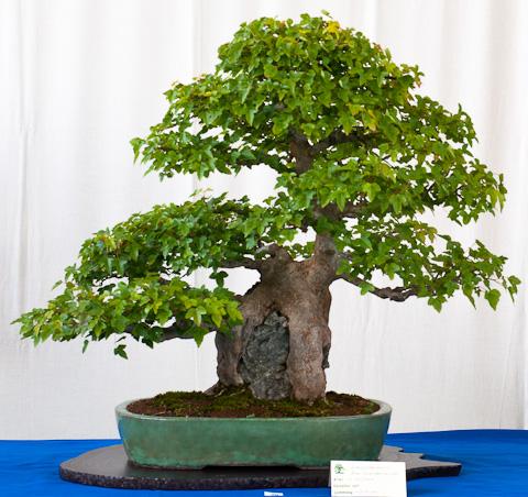 Bonsai wo Wurzeln den Stein umklammern