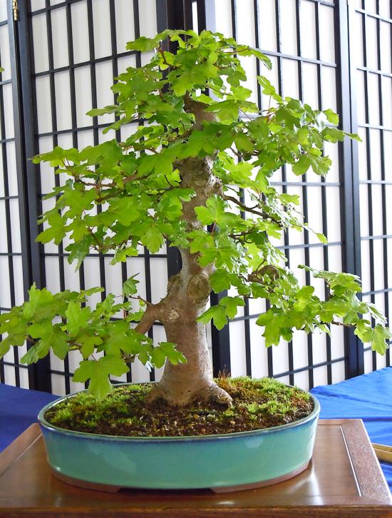 Bonsai Acer campestre
