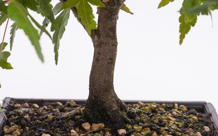Nebari Acer palmatum