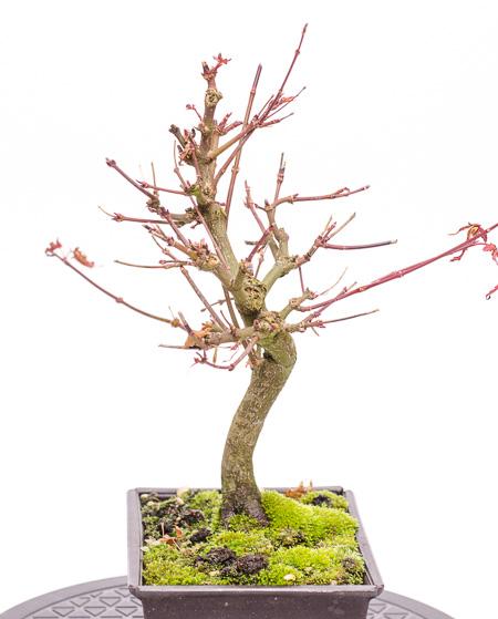 Acer palmatum Ende 2012 Teil 3
