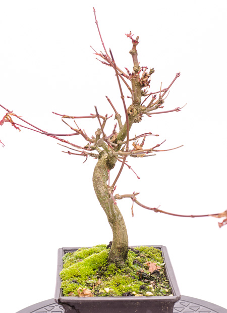 Acer palmatum Ende 2012 Teil 7