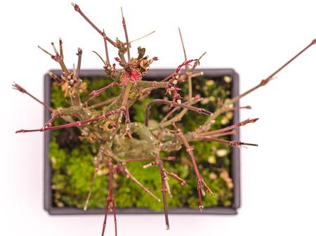 Acer palmatum Ende 2012 Teil 8