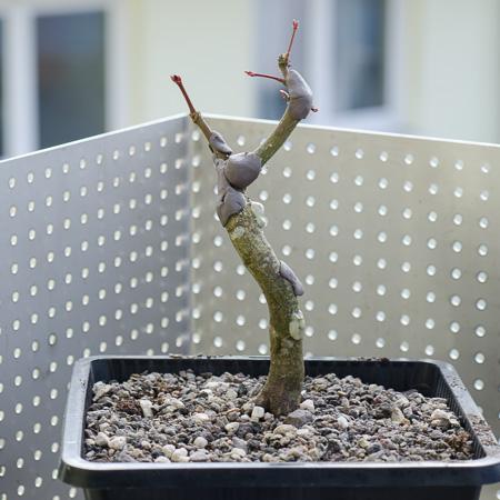 Acer palmatum im Teichtopf