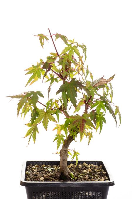 Acer palmatum Oktober 2013 andere Seite