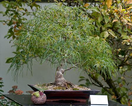 Acer palmatum altrolieare