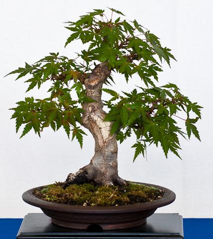Acer palmatum Kiyahime als Shohin