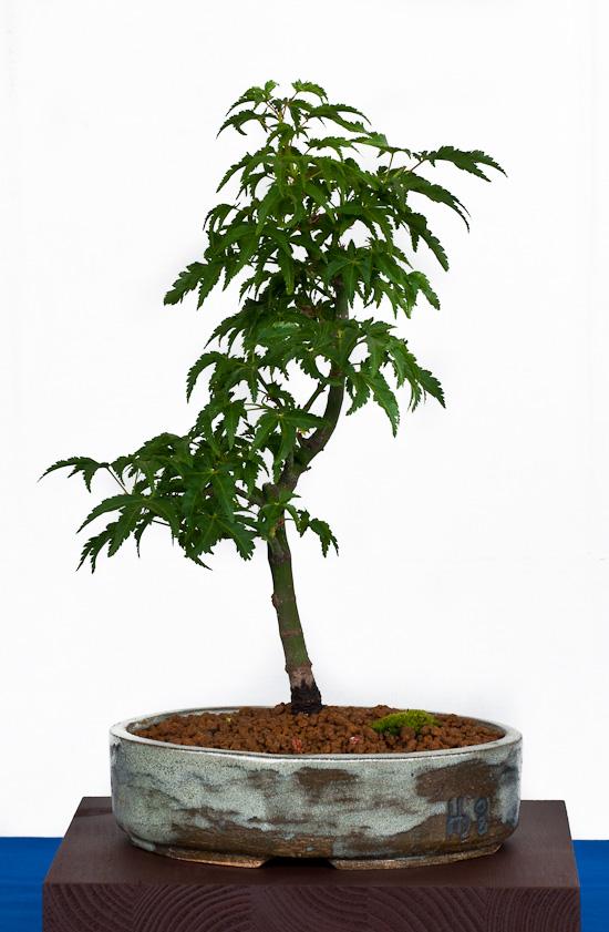 Bonsai Acer palmatum Shishigashira