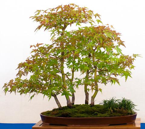 Acer palmatum als Wald