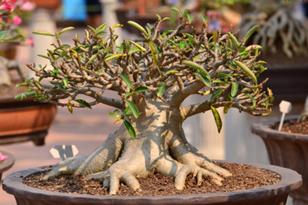 w stenrose adenium auf dem weg zum bonsai teil 2. Black Bedroom Furniture Sets. Home Design Ideas