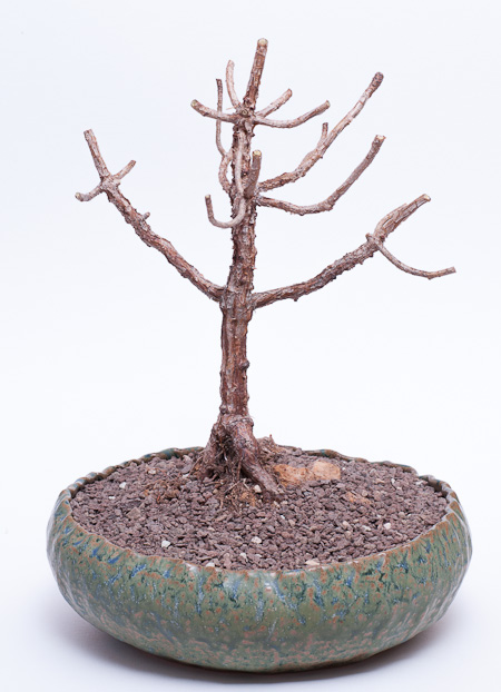 Kahles Aeonium