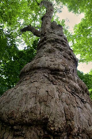 hoher Ahornbaum