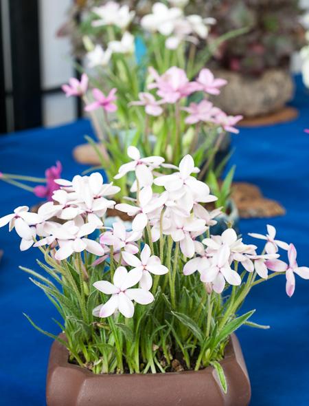 Blühende Akzentpflanzen