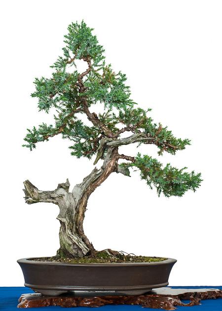 juniperus squamata blauzeder wacholder als bonsai. Black Bedroom Furniture Sets. Home Design Ideas