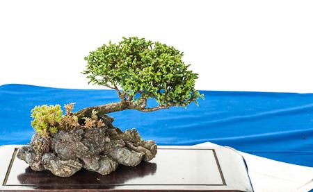 nadelb ume auf der bonsai fr hjahrsausstellung des ak aichtal filder 2012 teil 4. Black Bedroom Furniture Sets. Home Design Ideas