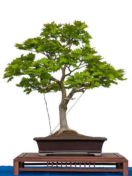 Acer sirasawanum aureum als Bonsai