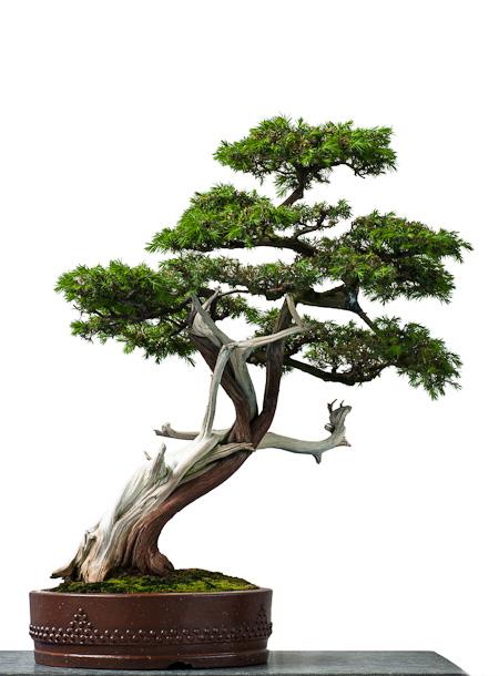 Igel-Wacholder als Bonsai