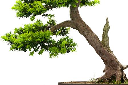 Ausschnitt Japanische Eibe als Bonsai