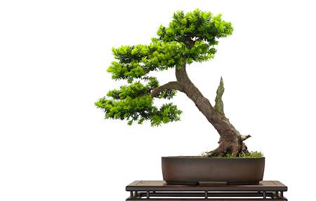 Japanische Eibe als Bonsai