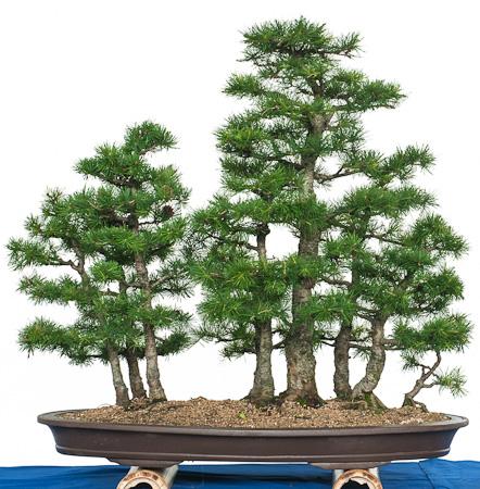 Lärchenwald als Bonsai