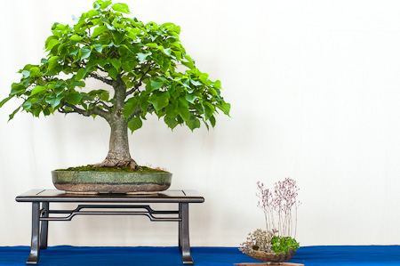 Linde als Bonsai