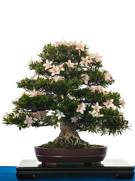 Rhododendron als Bonsai