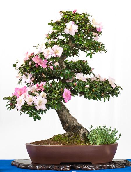 Rhododendron indicum von Helmuth Brenner als Bonsai