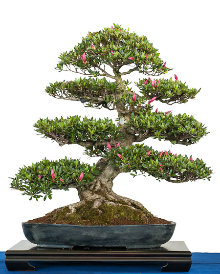 Rhododendron indicum als Bonsai