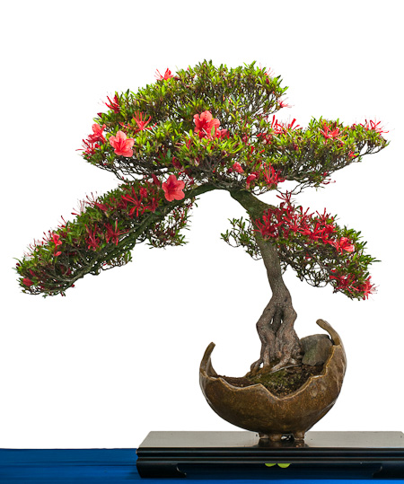 Rhododendron in der Blüte