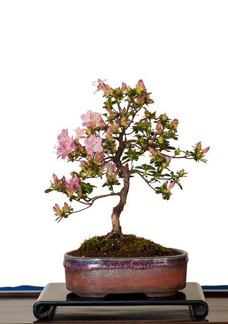 fotos von shohin bonsai der fr hjahrsausstellung des ak. Black Bedroom Furniture Sets. Home Design Ideas
