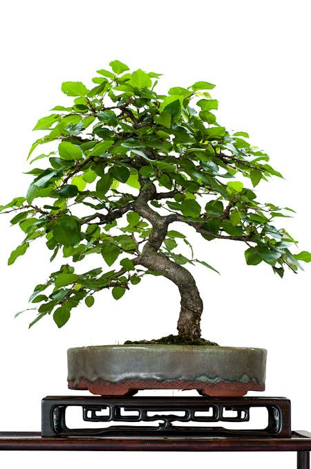 Hainbuche als Shohin-Bonsai