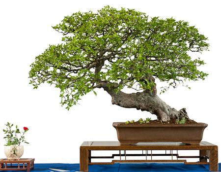 Ulmus parvifolia als Bonsai