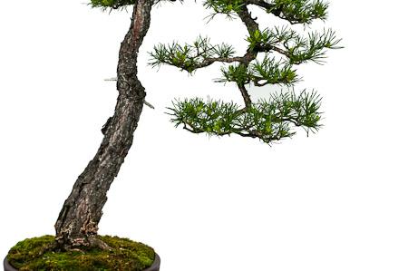 Detail Waldkiefer als Bonsai