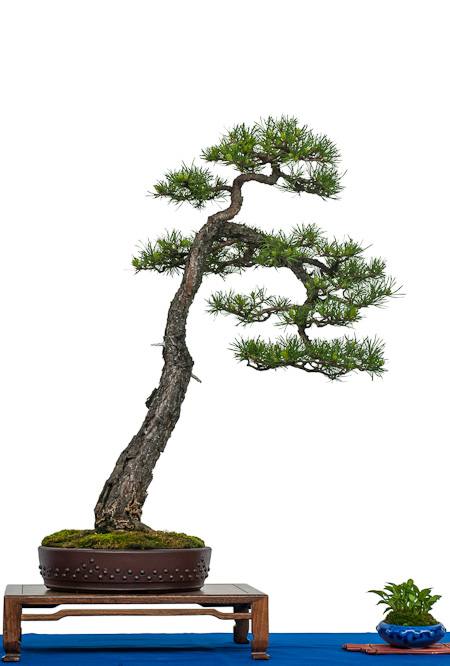 Waldkiefer als Bonsai
