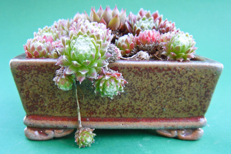 Hauswurz als Beistellpflanze