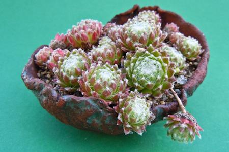 Sempervivum als Beistellpflanze