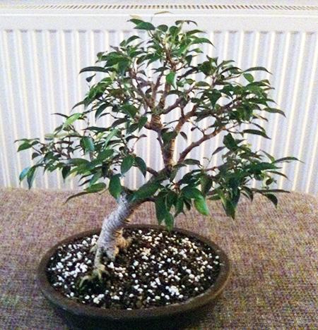 Birkenfeige als Bonsai
