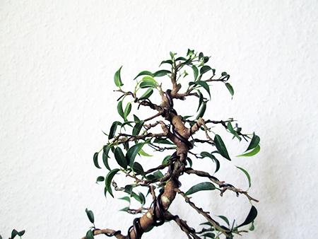 Ficus benjamini pandora #8