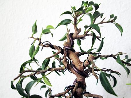 Ficus benjamini pandora #9