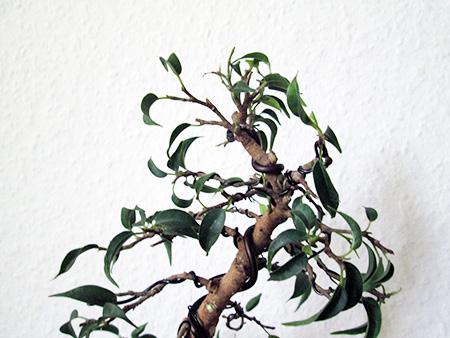 Ficus benjamini pandora #10