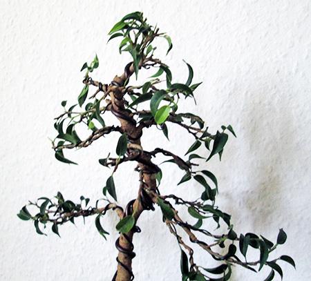 Ficus benjamini pandora #11