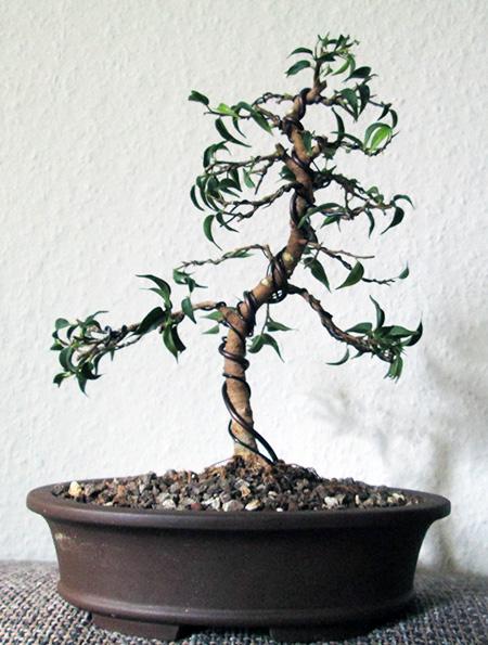 Ficus benjamini pandora #13