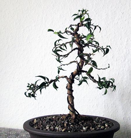 Ficus benjamini pandora #14