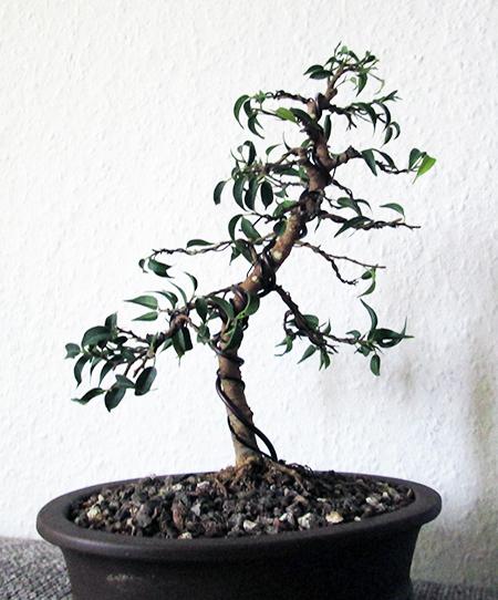 Ficus benjamini pandora #15