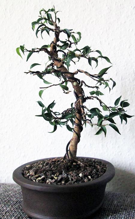 Ficus benjamini pandora #17