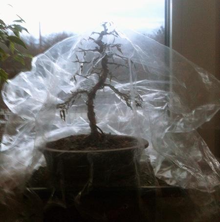 Ficus benjamini pandora unter einer Plastiktüte