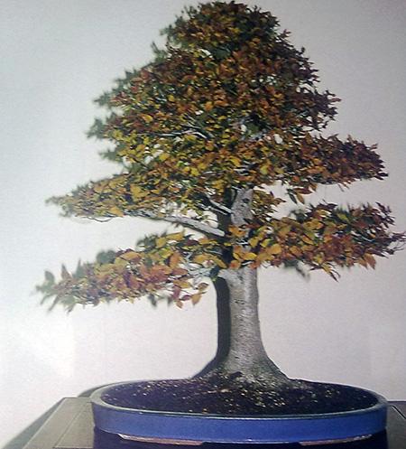 Hainbuchen-Bonsai aus BCD-Heft
