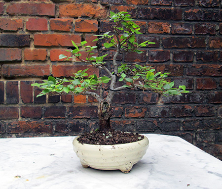 Zelkove serrata als Bonsai