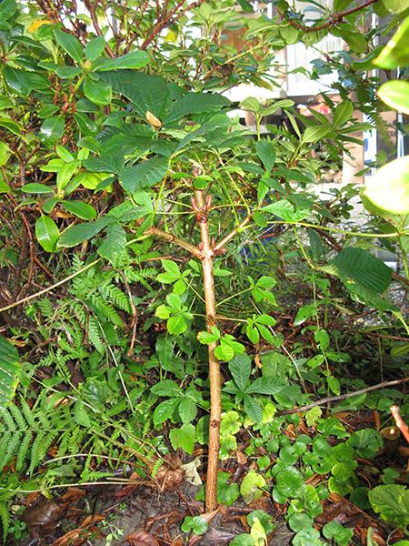 Rosskastanie frei ausgepflanzt #2