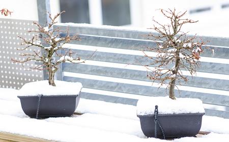 Ulme un Zelkove im Schnee